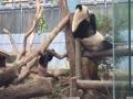 上野動物園シャンシャン木登りで落ちる瞬間
